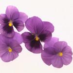 Veilchen, Blumendekoration, Trauerhalle